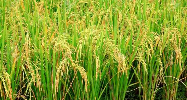 12030885-rice-plant-Stock-Photo-1030x686