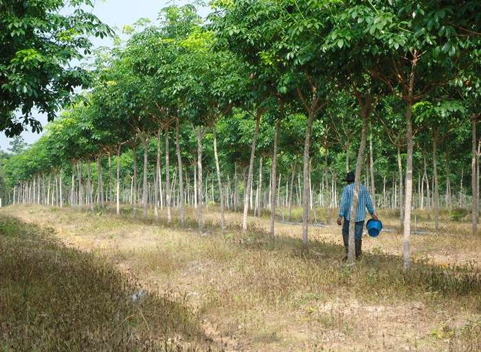 วิธีใส่ปุ๋ยต้นยางพารา -การใส่ปุ๋ย ต้นยางพารา